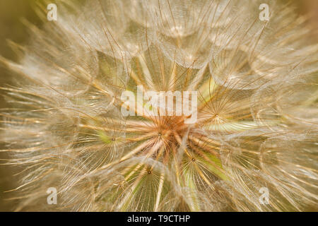 Goat's-beard flower (Tragopogon pratensis) on Gaudry's Road Sioux Narrows Ontario Canada - Stock Photo