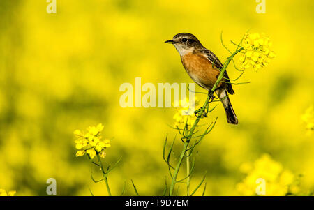 The Siberian stonechat or Asian stonechat (Saxicola maurus) is a recently validated species of the Old World flycatcher family (Muscicapidae). - Stock Photo