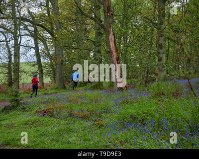 A Young Man and Woman running on a path through Darroch Woods, surrounded by Wild Bluebells. Perthshire, Scotland - Stock Photo