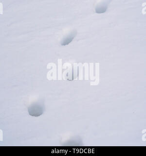 Square Close up of animal tracks on powdery white snow covering the ground - Stock Photo