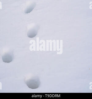 Clear Square Close up of animal tracks on powdery white snow covering the ground - Stock Photo