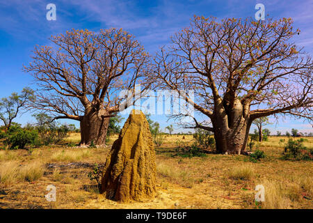 Two Boab trees with  bottle-like appearance growing in Western Australia. - Stock Photo