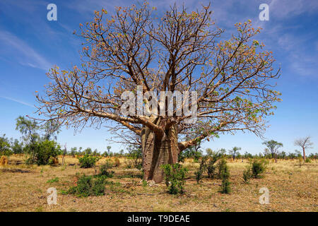 Boab trees growing in dry Western Australia. - Stock Photo