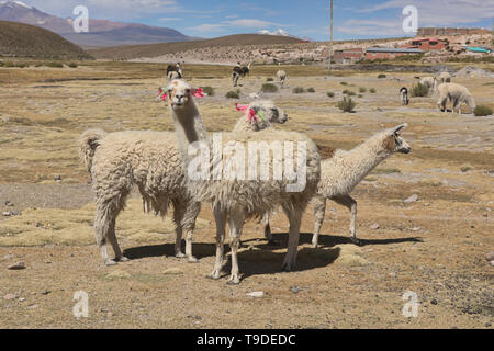 Llamas on the altiplano, Salar de Uyuni, Bolivia - Stock Photo