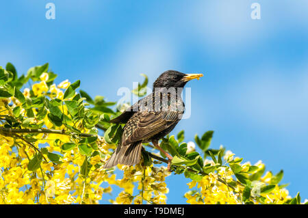 Starling, Scientific name: Sturnus Vulgaris. perched in Laburnum Tree with bright yellow flowers.  Dried mealworms in beak. Clean blue Sky background. - Stock Photo