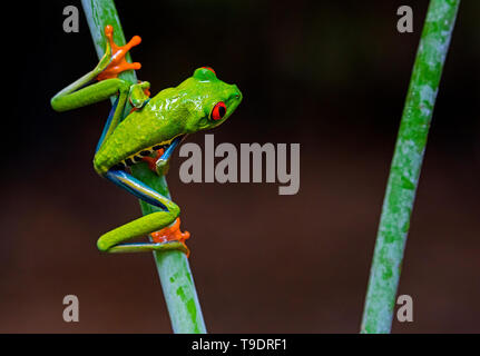Red-eyed Tree Frog about to jump