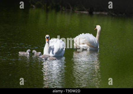 A pair mute swans,Cygunus Olor, with their four cygnets. The Wilderness Porthcawl - Stock Photo