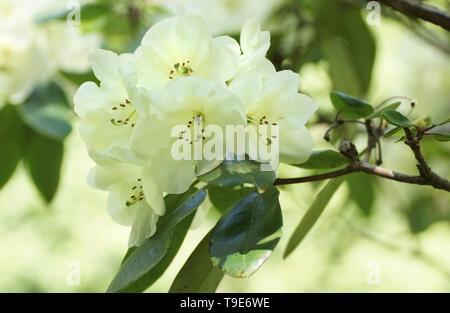 Rhododendron 'Roza Stevenson' - Stock Photo