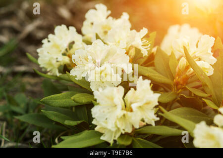 Beautiful white rhododendron flowers closeup in the sun. Nature, plants, botany - Stock Photo