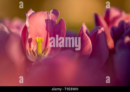 In late April through early May, the tulip fields in the Netherlands colourfully burst into full bloom. Fortunately, there are hundreds of flower fiel - Stock Photo
