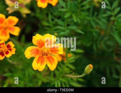 Bright, hot yellow and orange red tagetes flower and bud with unfocused green foliage and few flowers at background. Selective focus. Greeting card ba