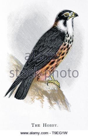 Hobby (Falco subbuteo), vintage illustration published in 1898 - Stock Photo
