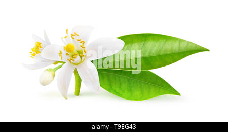 Isolated orange flowers. Blossoming branch of orange tree isolated on white background with clipping path - Stock Photo
