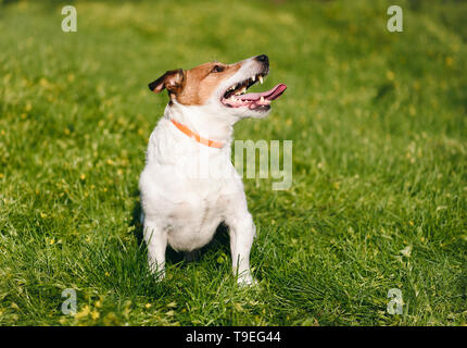 Happy dog safely playing on green grass wearing anti flea and tick collar during spring season - Stock Photo