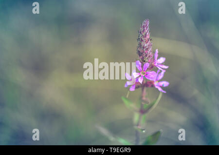 Flowers of Ivan-Tea or blooming Sally closeup - Stock Photo