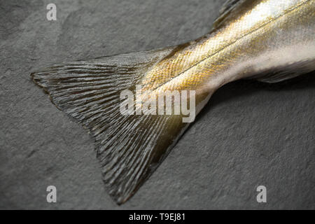 The tail fin, or caudal fin and scale pattern, of a raw, uncooked Pollack, Pollachius pollachius, that was caught on rod and line boat fishing in th E - Stock Photo