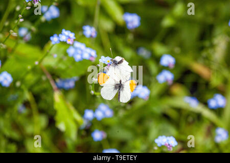Two Orange tip butterflies Anthocharis cardamines mating in the English countryside in the springtime - Stock Photo