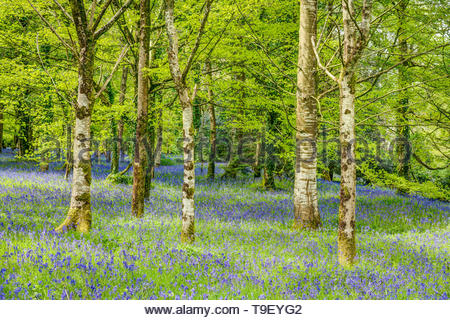 A neat cluster of five Silver Birch trees growing in amongst an abundant colourful carpet of wild bluebells and white garlic flowers. Taken in Maytime - Stock Photo