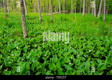 Water Arum (Calla palustris) blossoms growing in marsh on Kendall Inlet Road Kenora Ontario Canada - Stock Photo