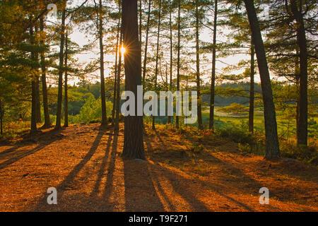 White pine trees at sunset (Pinus strobus) Sioux Narrows Provincial Park Ontario Canada - Stock Photo