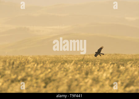 Northern harrier, Circus hudsonius, flying with prey near Claresholm, Alberta, Canada. - Stock Photo