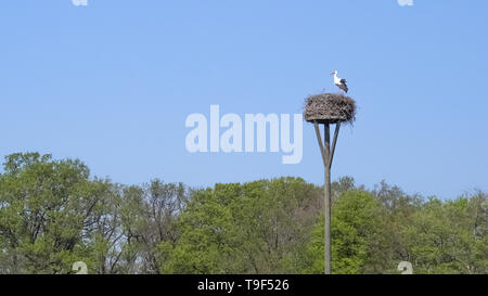 One stork standing on it's nest made of branches and twigs, high up on a nesting pole, against a blue sky, with trees in background. - Stock Photo