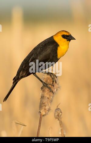 Male yellow-headed blackbird, Xanthocephalus xanthocephalus, on a cattail near Calahoo, Alberta, Canada - Stock Photo