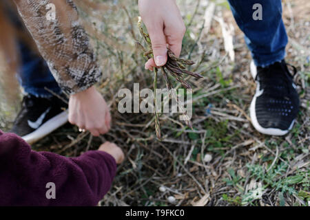 young woman picking wild asparagus in the field. - Stock Photo
