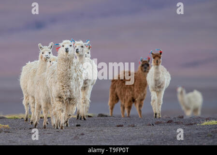 curious herd of alpacas in the bolivian altiplano. The alpaca (Vicugna pacos) is a species of South American camelid. It is similar to, and often conf - Stock Photo
