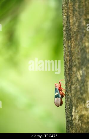 Beatle on tree in jungle in Sulawesi,Indonesia, macro close up photo, bokeh background, celebes island, green clear background with space for text, ex - Stock Photo
