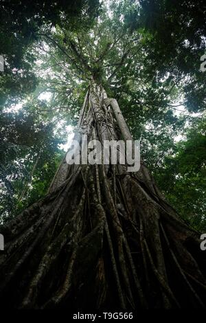 Giant ficus tree in Tangkoko National Park. North Sulawesi. Indonesia, lush and dense primary rain forest, view into jungle canopy - Stock Photo