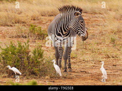 Grevy Grévy's zebra Grevy's Equus grevyi black and white narrow stripes in dusty dry golden scrub Three 3 cattle egret birds Samburu Kenya endangered - Stock Photo