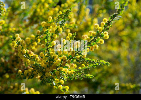 Small yellow flowers on prickly wattle (Acacia paradoxa) during spring blossoming - Stock Photo