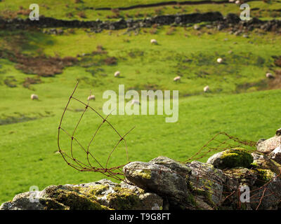 landscape in Long Sleddale Cumbria, England, UK with curling broken wire fencing on dry-stone wall and grazing sheep in rough pasture - Stock Photo
