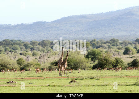 Mother and baby giraffe with herd of impala and monkeys, Grumeti Game Reserve, Tanzania. - Stock Photo