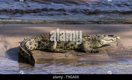 Nile crocodile with fish guts in its mouth, sand bar, Grumeti River, Serengeti, Tanzania - Stock Photo
