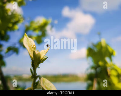 Tiny beetle on the top of a tree bud looking at the horizon. Spring nature close up, green leaves growing over blue sky background. - Stock Photo