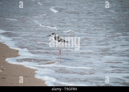 Pied white-headed stilt bird Himantopus leucocephalus on sand beach water line - Stock Photo