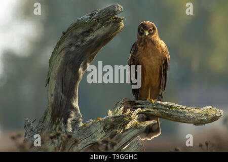 Juvenile Northern harrier, Circus hudsonius, perched on driftwood in Delta, British Columbia, Canada. - Stock Photo