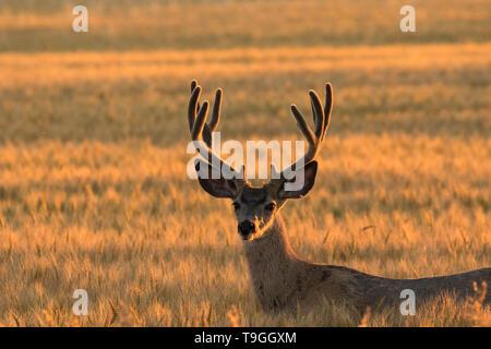 Mule deer, Odocoileus hemionus, buck in Pincher Creek, Alberta, Canada - Stock Photo
