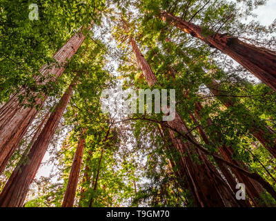 Looking up at the ancient Coastal Redwood trees - Stock Photo
