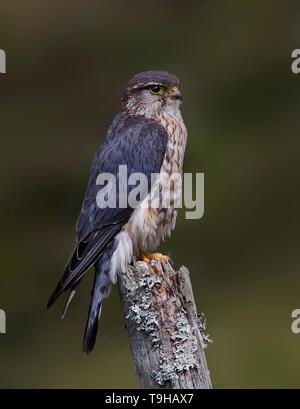 Merlin, Dumfries, Scotland - Stock Photo