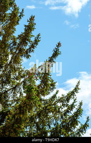 Young Red Pine Cones Growing on the Branches of a Green Fir Tree - Stock Photo