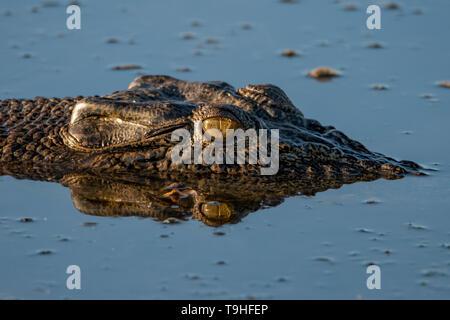 Saltwater Crocodile, Crocodylus porosus at Yellow Waters, Kakadu NP, NT - Stock Photo