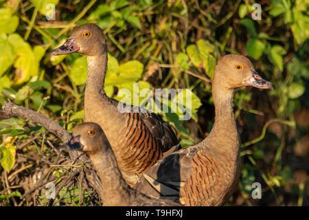 Plumed Whistling Ducks, Dendrocygna eytoni at Yellow Waters, Kakadu NP, NT - Stock Photo