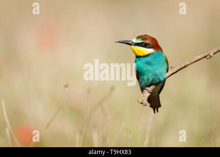 European Bee-eater (Merops apiaster), adult perched on branch, Lleida Steppes, Catalonia, Spain - Stock Photo