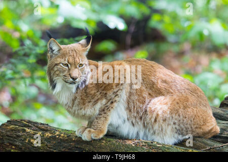 natural Eurasian lynx sitting in forest - Stock Photo