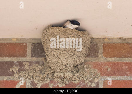 A common house martin about to leave its nest on a brick wall - Stock Photo