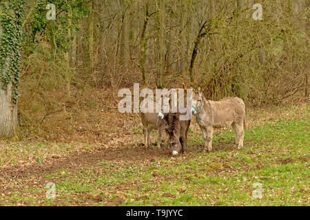 Three cute donkeys in a meadow with forest behind- Equus africanus asinus - Stock Photo