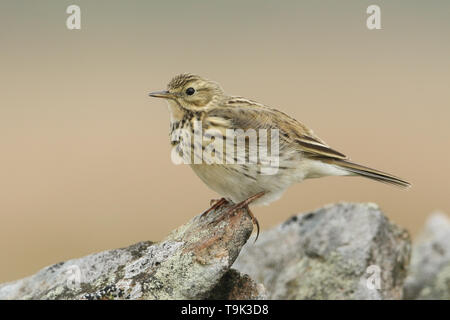 A pretty Meadow Pipit, Anthus pratensis, perched on a rock in the moorlands of Durham, UK. - Stock Photo